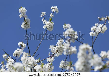 Detail of the Cherry Tree Flower on the blue Sky - stock photo