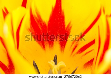Detail of the colorful Tulip - stock photo