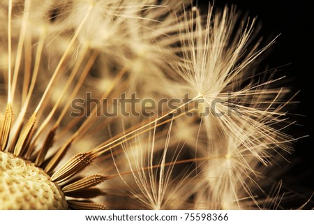 Detail of the Dandelion on the black Background - stock photo