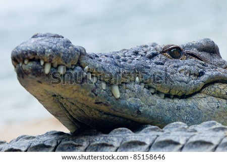 Detail of the head of a nile crocodile, Crocodylus niloticus - stock photo