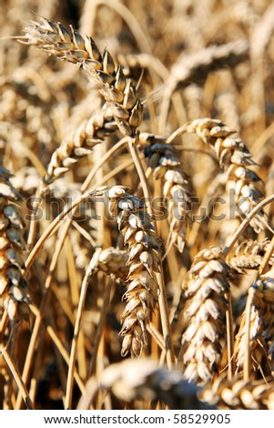 Detail of the ripe wheat Field - stock photo