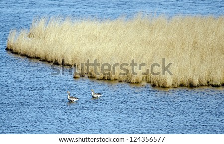 Detail of the Wadden Sea, reed and two horticulture geese. - stock photo
