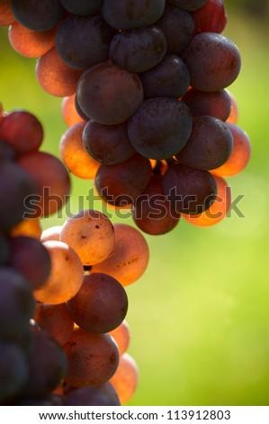 Detail of traminer grapes in vineyard - stock photo