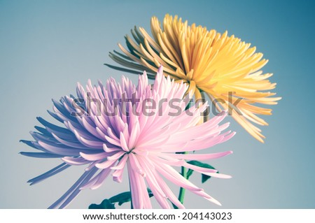 Detail of two Chrysanthemums flowers in pink and yellow  - stock photo