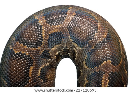 detail on  burmese python skin ( Python molurus  bivittatus ), isolation over white - stock photo