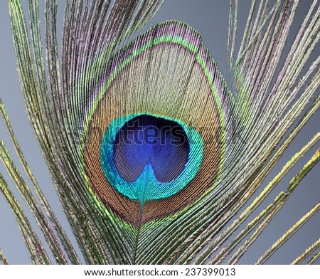 Detail Peacock feather - stock photo