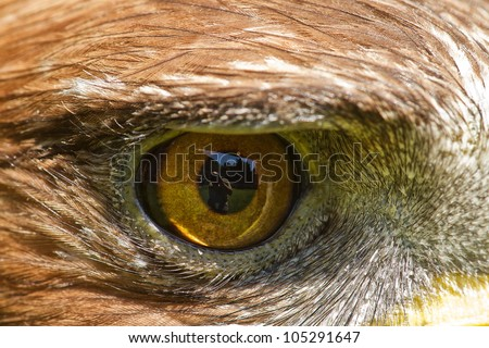detail  right eye golden eagle - stock photo
