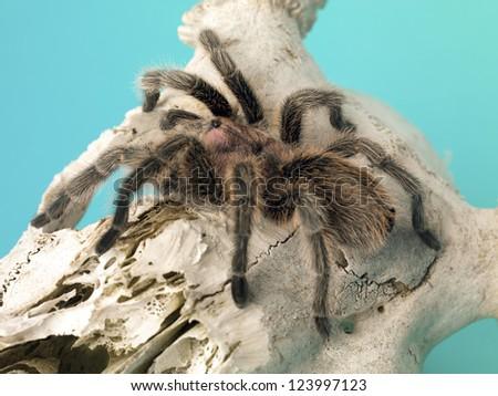 Detail shot of a tarantula on a animal bone. - stock photo