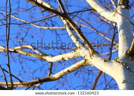 Detail shot of silver birch tree against blue sky background - stock photo