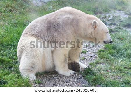 Detail view of a large polar bear, (ursus maritimus)  - stock photo
