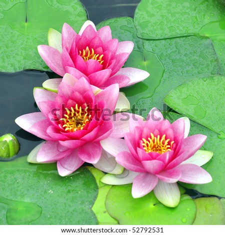 Detail view of three pink water lilies. - stock photo