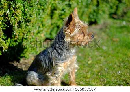 Detail Yorkshire sitting in the garden and looks into the distance, pets, dogs - stock photo