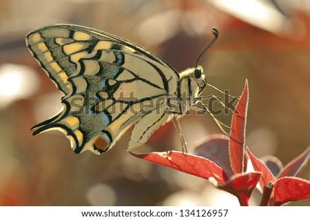 Detailed beauty a super detailed close-up of a furry colorful (yellow black red blue) exotic butterfly (swallowtail, Papilio)  on a red leaf in a sunny day. - stock photo