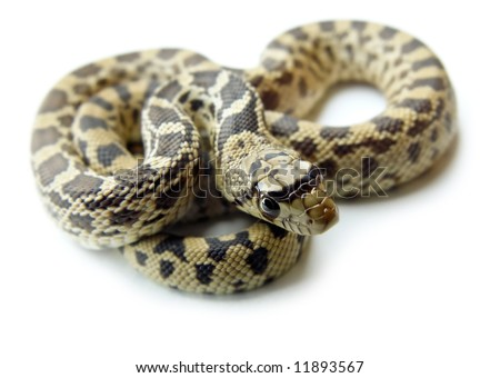 Detailed closeup of a bull snake, also known as gopher snake, with it's head in foreground, on a white background. - stock photo