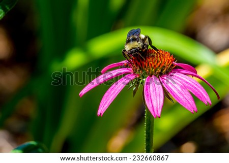 Detailed Closeup of Beautiful Pink or Purple Coneflowers, (Echinacea purpurea), Growing in Texas.  With Bumble Bee Gathering Pollen and Facing Camera. - stock photo