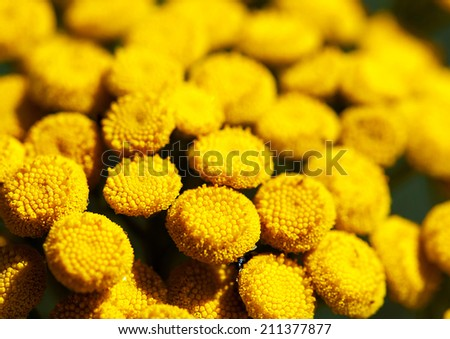 Detailed macro photo of blooming Tansy (Tanacetum vulgare). Shallow DOF - stock photo