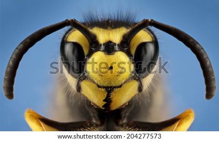 Detailed macro photography of insect German wasp (Vespula germanica) - stock photo
