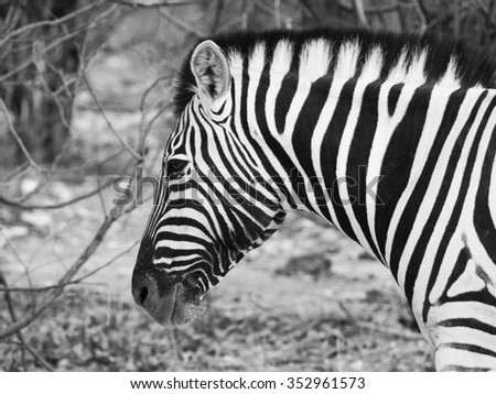 Detailed profile view of zebra. Black and white image. - stock photo