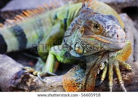 Detailed shot of an Big iguana Lizard - stock photo