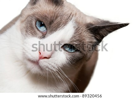 Detailed view of Snowshoe cat, a new breed of cat originating in the USA. - stock photo