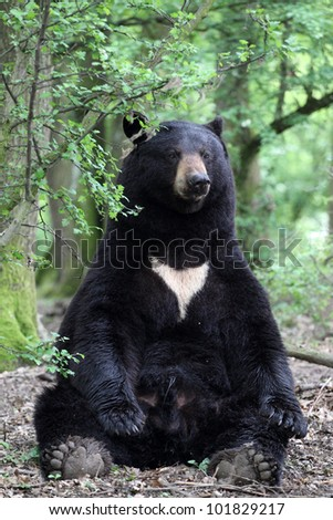 details of a american black bear sitting in forest - stock photo