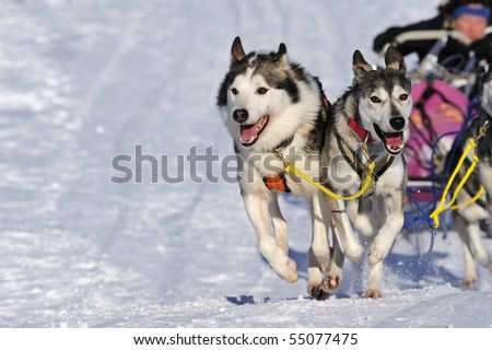 Details of a sled dog team in full action, heading towards the camera. Space for text in the snow. - stock photo