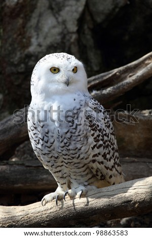 details of a snowy owl perched on a branch - stock photo