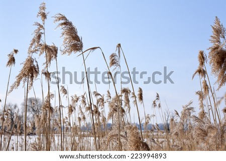 Details of Reed in Winter. Landscape in Winter on the Havel River in the Havelland, Brandenburg (Germany). - stock photo