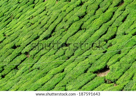 Details of tea plantation taken in Cameron Highlands, Malaysia - stock photo