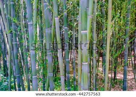 Details on a grove of Bamboo trees with fresh growth and various colors - stock photo