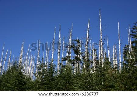 Devastation of the Eastern Hemlock - Clingman's Dome, Great Smoky Mountains National Park. - stock photo