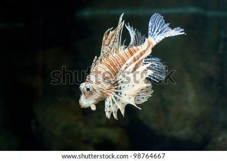 Devil firefish - stock photo