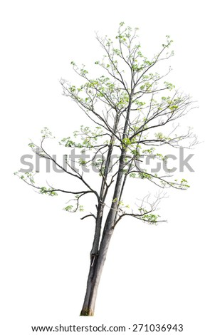 Devil Tree, White Cheesewood, Black Board Tree, Devil Bark, Dita Bark (Alstonia scholaris (L.) R. Br.) isolated on white background. - stock photo