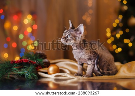 Devon Rex cat, Christmas and New Year,portrait beautiful cat on a color background - stock photo