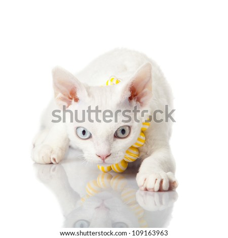 Devon Rex cat on white background - stock photo