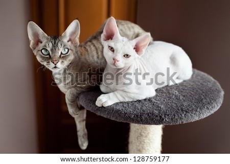devon rex cats sitting on scratching post - stock photo