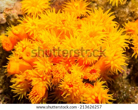 devonshire cup coral - stock photo