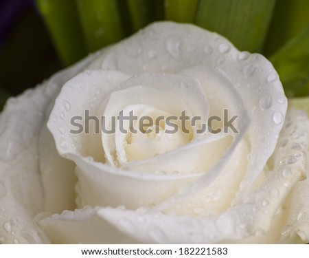 Dew-covered white rose - Close-up white rose with raindrops on the petals - stock photo