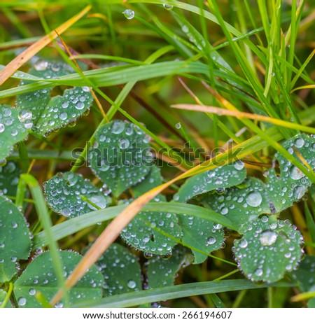 dew drops - stock photo