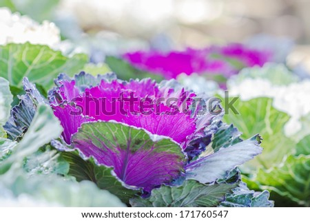 dew drops on cabbage leaves. decorative cabbage - stock photo