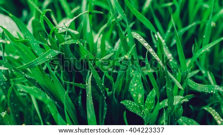 Dew on a grass in spring after rain. Drops of dew on a fresh green grass. Fresh green grass with water drops closeup. Nature Background. - stock photo
