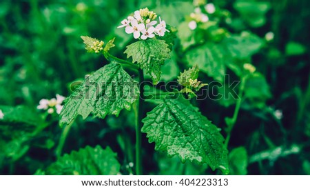 Dew on a leaf with white flower in spring after rain. Drops of dew on a fresh green leaves and flowers. Fresh green leaf branch with water drops closeup. Nature Background. - stock photo