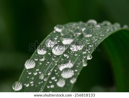 Dew on leaf of lily. Macro photo. Pattern. Background. Wallpaper. - stock photo