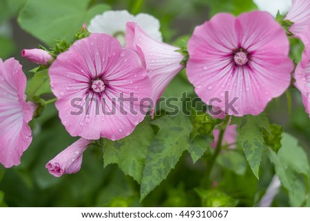 dew on pink flower mallow - stock photo