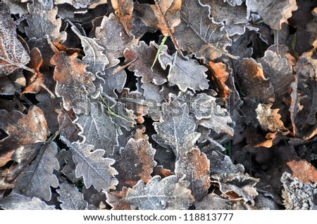 Dew on the oak Leaves on autumn - stock photo