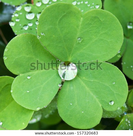 dewdrops on a clover leaf - stock photo