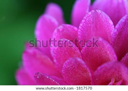 dewy dahlia corner - stock photo