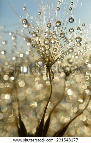 Dewy dandelion flower close up - stock photo