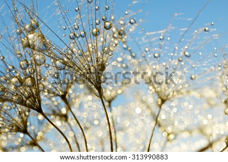 Dewy dandelion flower close up - stock photo