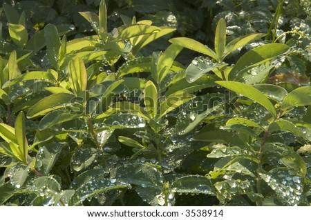 Dewy St. John's Wort (Hypericum calycinum) - stock photo